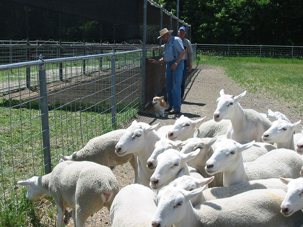 Jerry Rowe's Sheep Herding Camp - Twin Creek Herding and